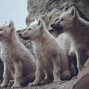 Default 92545 wolves3 cute baby wolves