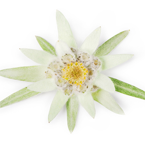 Default edelweiss plant 584x438