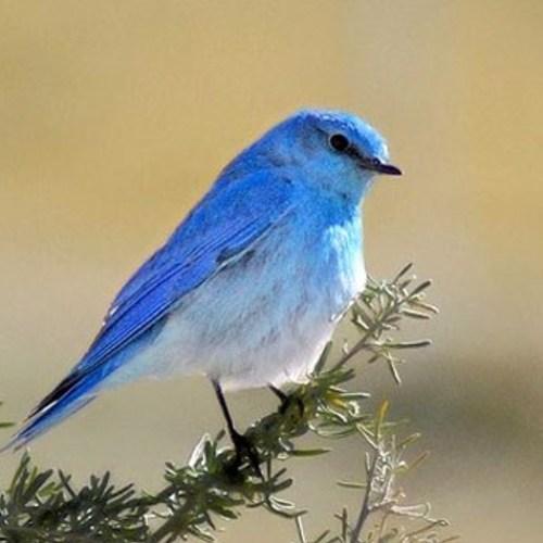 Default mountain bluebird sim 1