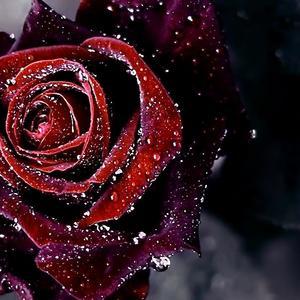 Default red rose flower background hd wallpaper