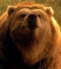 Default ava the bear