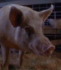 Default mother pig