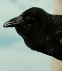 Default elwyn the crow