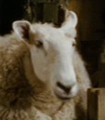 Default sheep 4