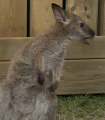 Default wallaby