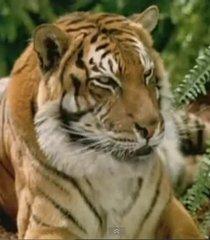 Default tiger 896699e2 48d9 40ba 9845 a80071066054