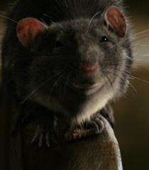 Default templeton the rat