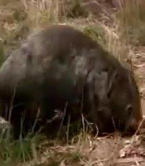 Default wombat