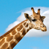 Thumb animals hero giraffe 1 0