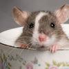 Thumb rodent