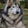 Thumb wolf dog