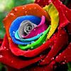 Thumb mystic rainbow rose
