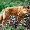 Thumb canis lupus dingo   cleland wildlife park cropped