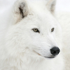 Thumb funny white wolf face 1
