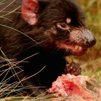 Default tasmanian devil