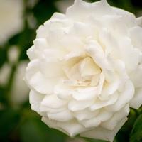 Default charming white camellia free desktop wallpaper 1920x1200