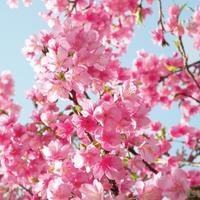 Default cherry blossom